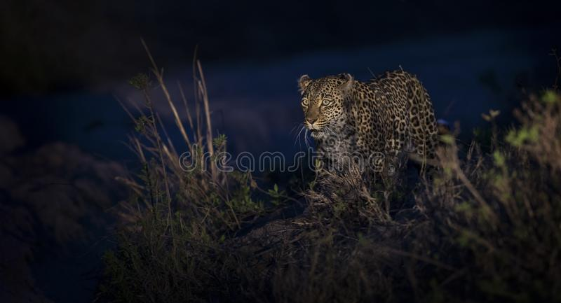 Lone leopard walking in darkness and hunt for food in nature royalty free stock photography
