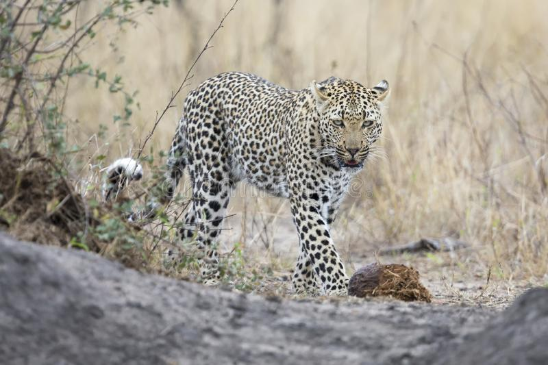 Lone leopard walking and hunting during daytime royalty free stock photos