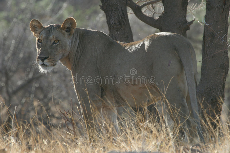 Lone Lioness royalty free stock photos