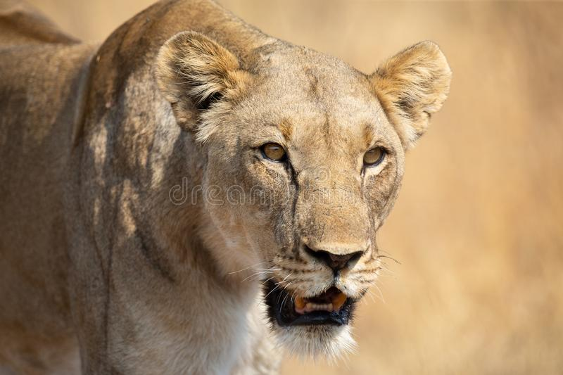 Lone lioness walking through dry brown grass hunt for food. Lone lioness walking through dry brown grass to hunt for food royalty free stock photo