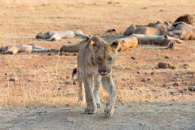 Lone lioness walking through dry brown grass hunt for food. Lone lioness walking through dry brown grass to hunt for food stock photo