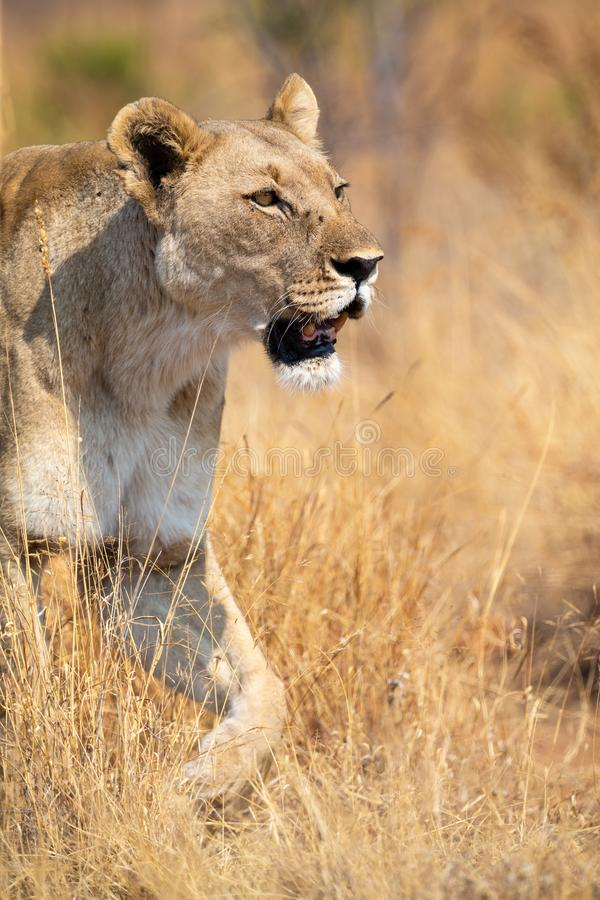 Lone lioness walking through dry brown grass hunt for food. Lone lioness walking through dry brown grass to hunt for food royalty free stock photos