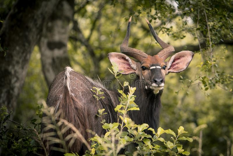A lone male Kudu looks back through green foliage in the Western Shores reserve stock photography