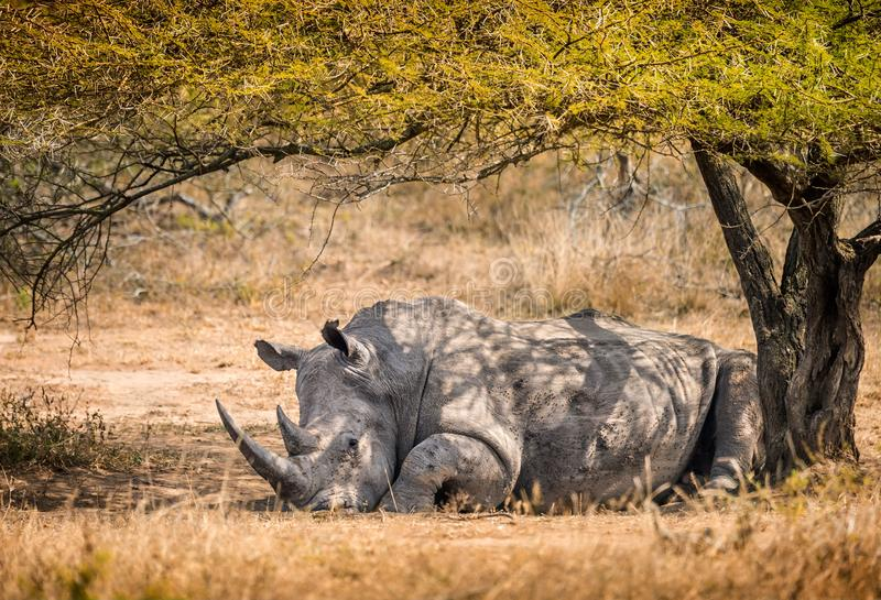 Single male white rhino resting under a tree in the South Africa royalty free stock photography