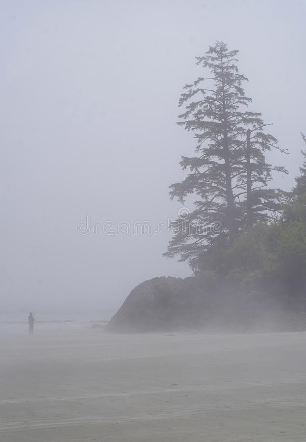 Lone man on beach with Trees on rocks in the fog. Solitary man walks the beach in the fog. Trees on small seastacks nearby royalty free stock image
