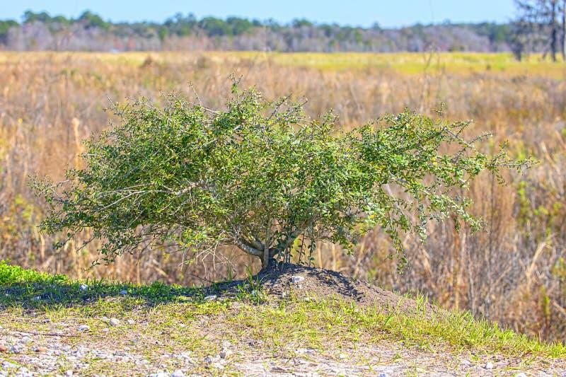 Lone Mangrove-träd royaltyfria bilder
