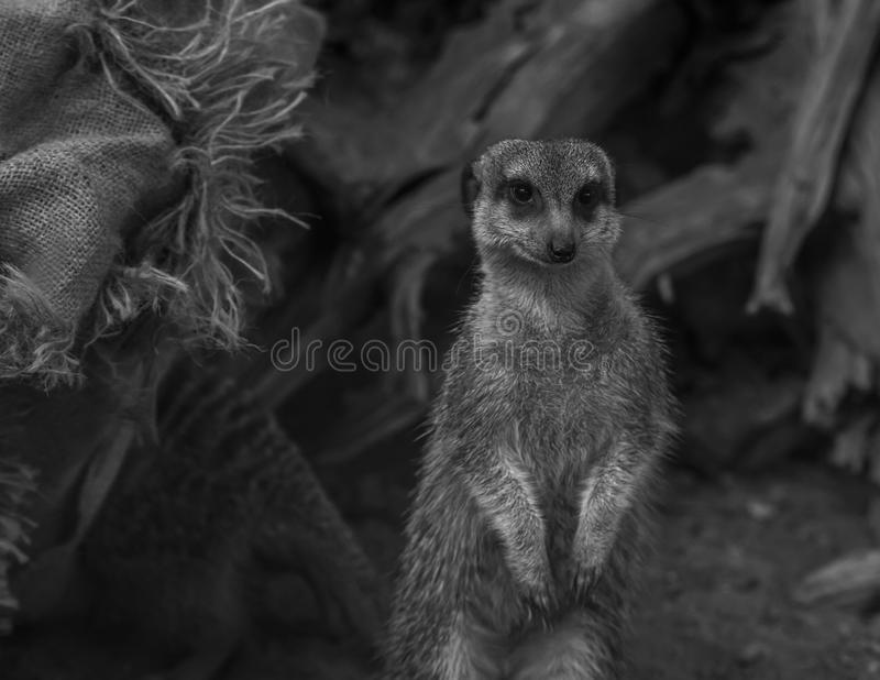 Lone meerkat standing close up royalty free stock image