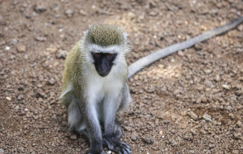 Single monkey head down with eyes up. Lone monkey sits on dirt ground, tail extending out of image royalty free stock image
