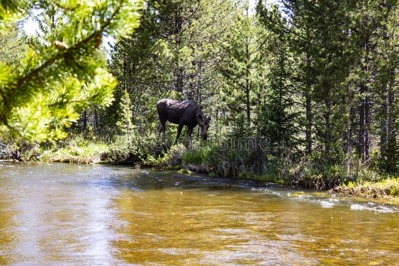 Moose cow in Rocky Mountain National Park  stock photo