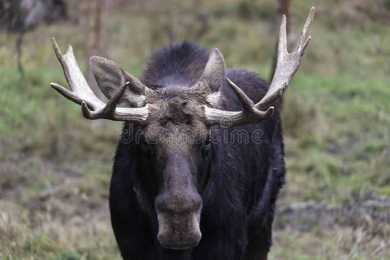 Lone moose in the woods. A lone moose in the woods stock image