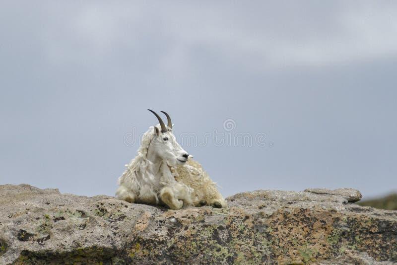 Lone Mountain Goat royalty free stock image