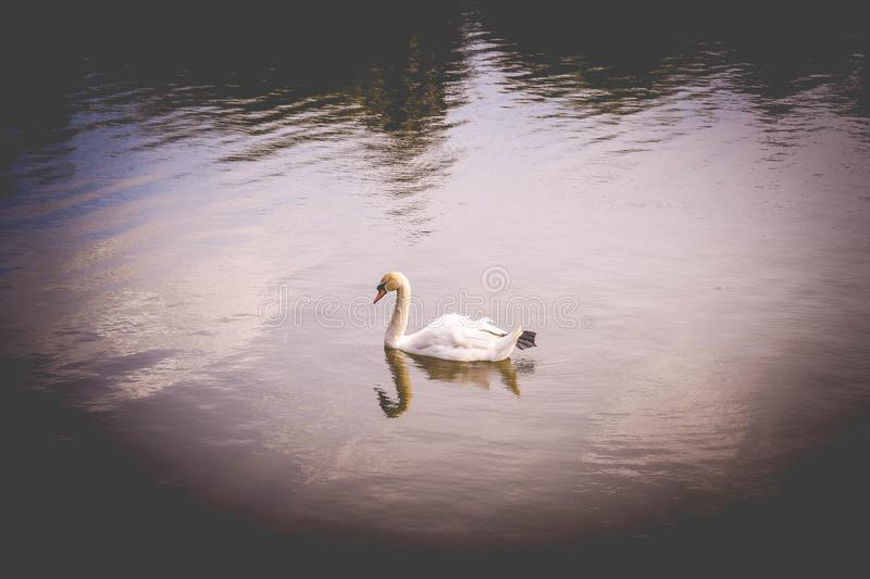 A lone mute swan on the water stock photo
