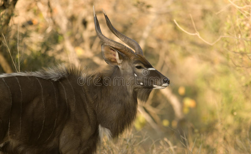 Lone Nyala stock images