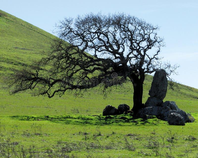 Lone Oak stock image