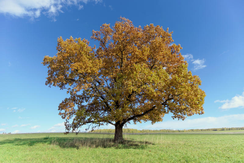 A lone oak tree in a clearing. royalty free stock image
