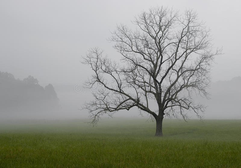 Lone oak tree in the fog, Great Smoky Mountains National Park, Tennessee royalty free stock image