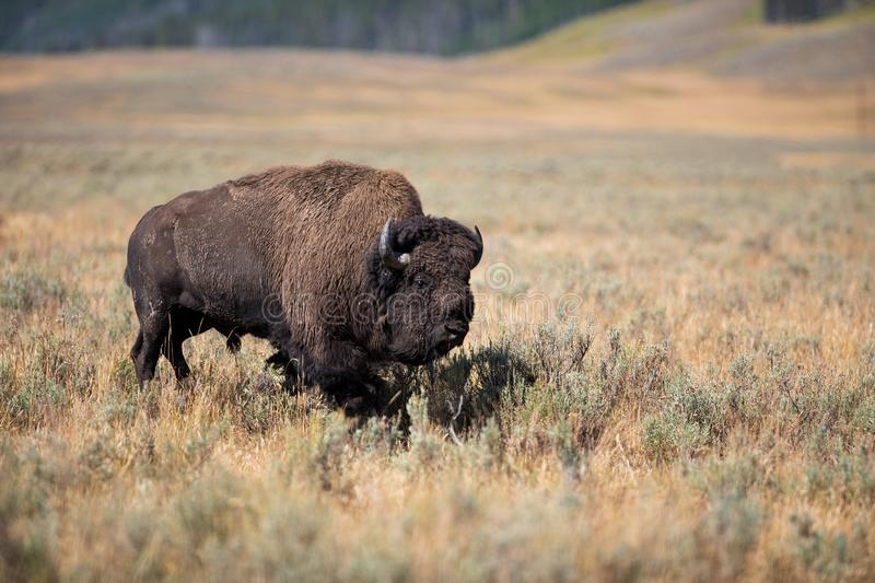 A lone older bull buffalo bison walking in an open meadow. stock images