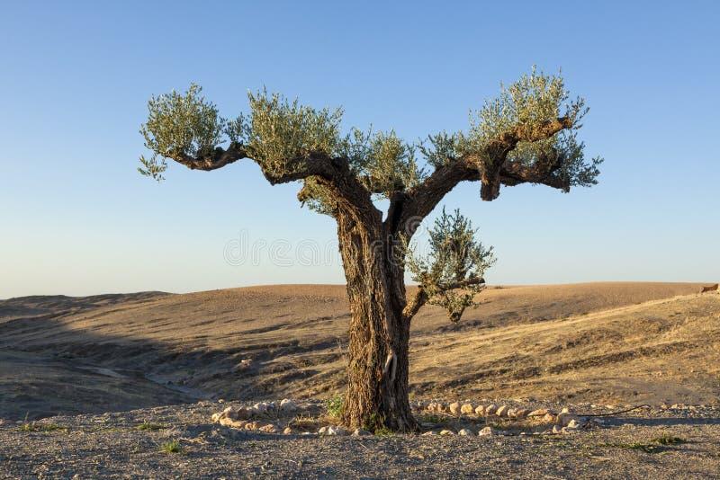lone olive tree royaltyfri bild
