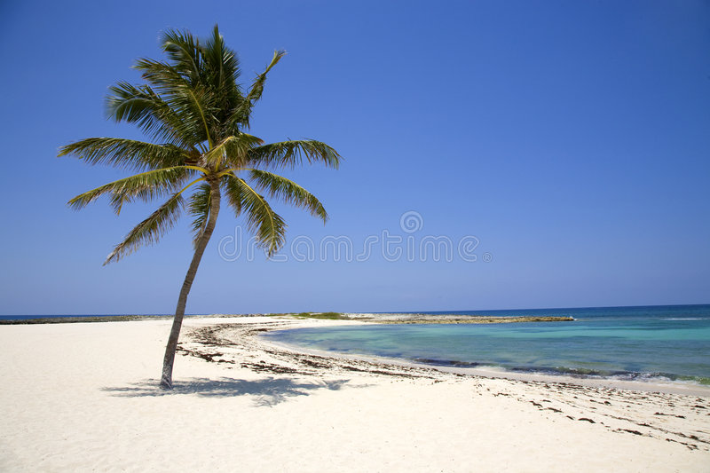 Lone Palm Tree on the Beach stock photo