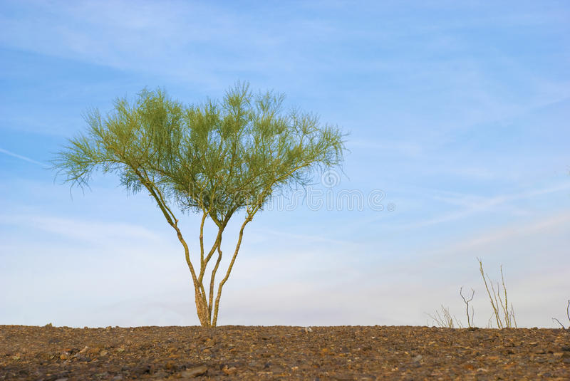 Download Lone Palo Verde Tree Stock Images - Image: 11712104