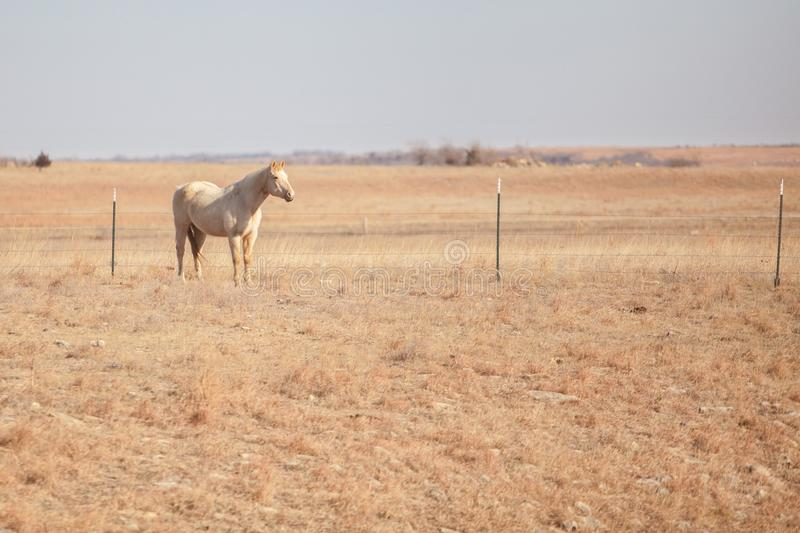 Lone Palomino horse in field. Lone Palomino horse in a distant field in Kansas stock photos