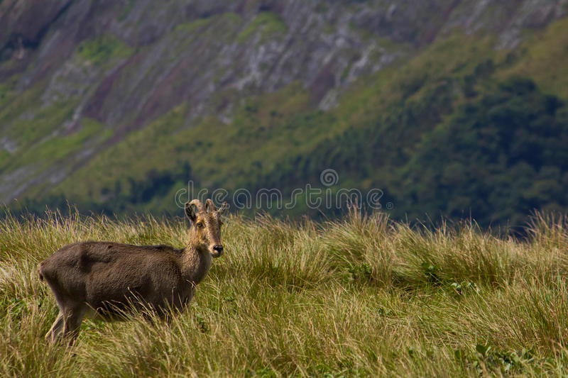 Download Lone Papa goat stock photo. Image of altitude, cheerful - 21334966