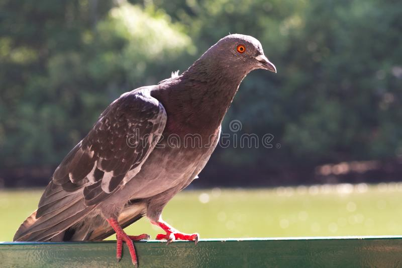 Lone Pigeon. A lone pigeon sits on iron banisters with a piercing gaze against the background of green trees stock images