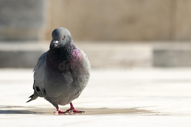 Lone Pigeon. A lone pigeon stands against a blurred background royalty free stock photography