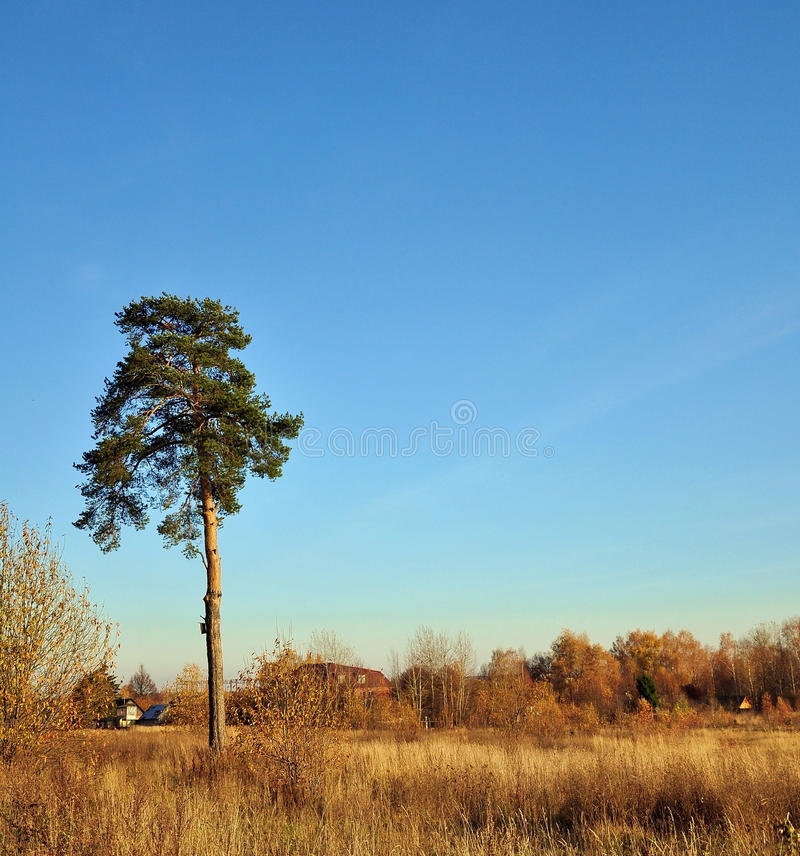 Lone pine. stock photography