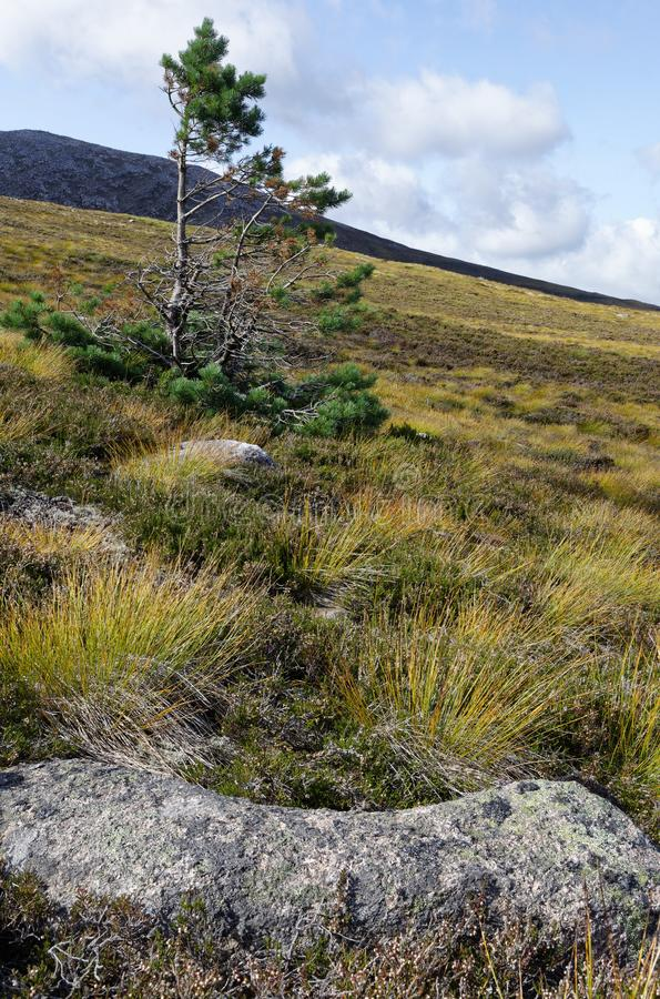 Lone Pine Scots Tree. Pinus sylvestris on lower slopes of Cairngorms, Scothald stock image