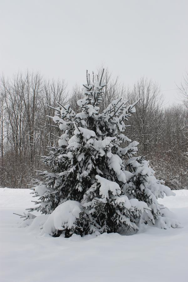 Lone Pine in the Snow royalty free stock photos