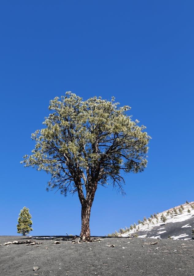 Download Lone pine tree stock image. Image of arizona, crater - 23195823