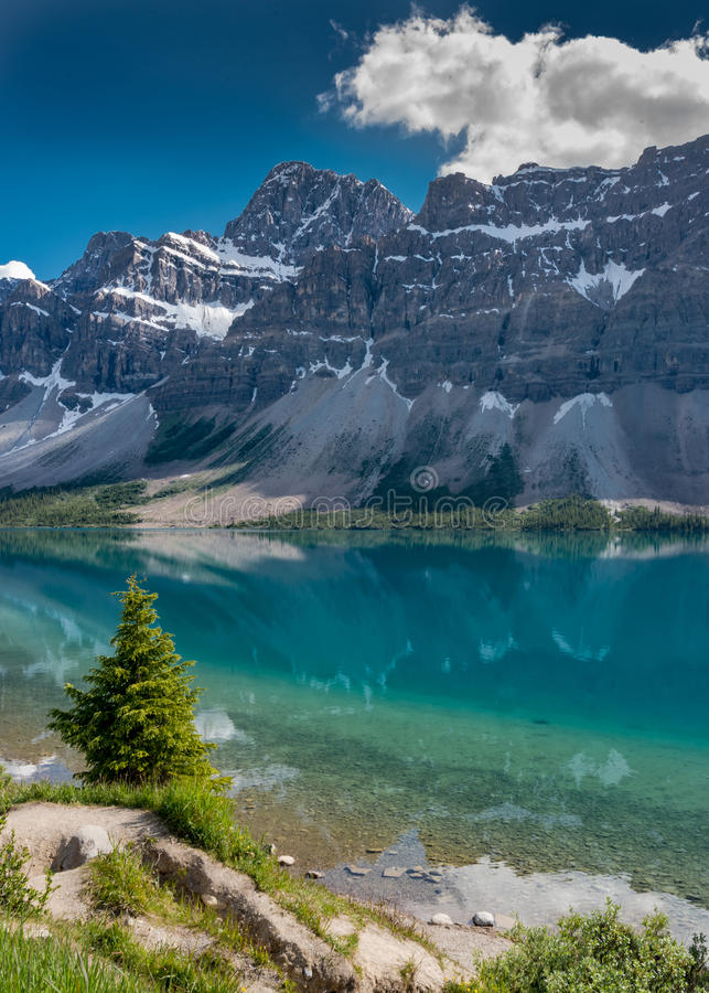 Lone Pine Tree Along the Shore of Bow Lake. In the Canadian rockies royalty free stock photo