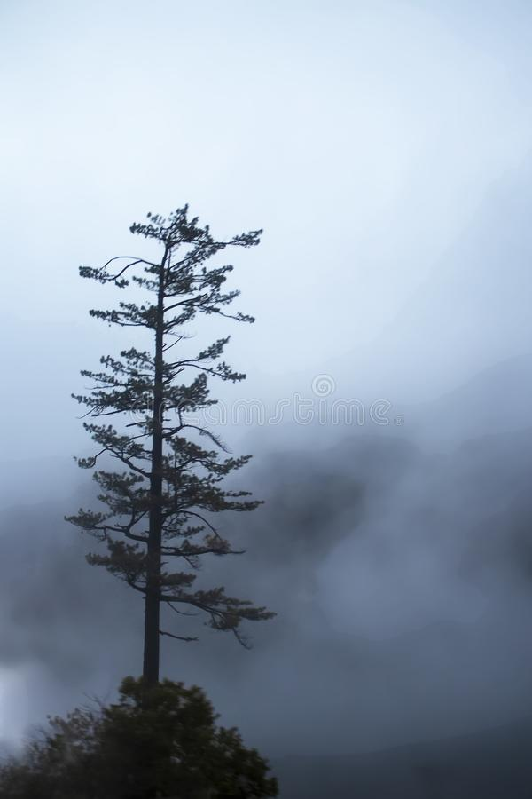Lone pine tree in the fog - tree stands on small hill with swirls of grey fog and barely visible mountains in distance.  stock photo