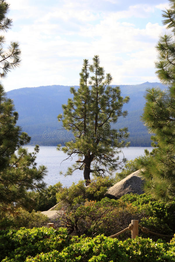 Lone pine tree with Lake Tahoe in background royalty free stock images