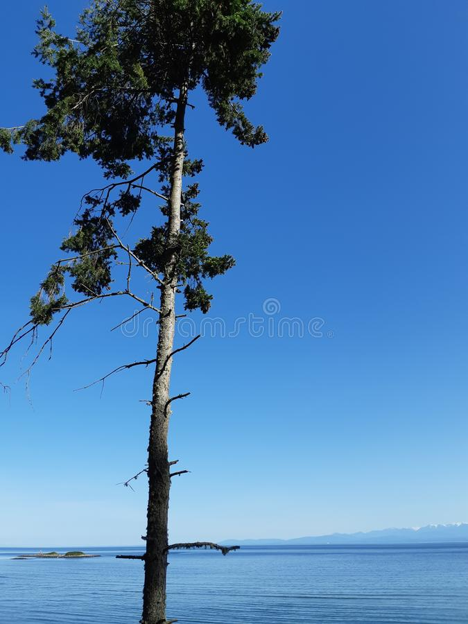 Lone pine tree by water royalty free stock photography