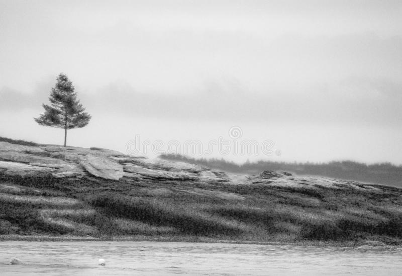 Lone pine tree on rocky ledge on the Maine coast. With water in foreground. Black and white stock images