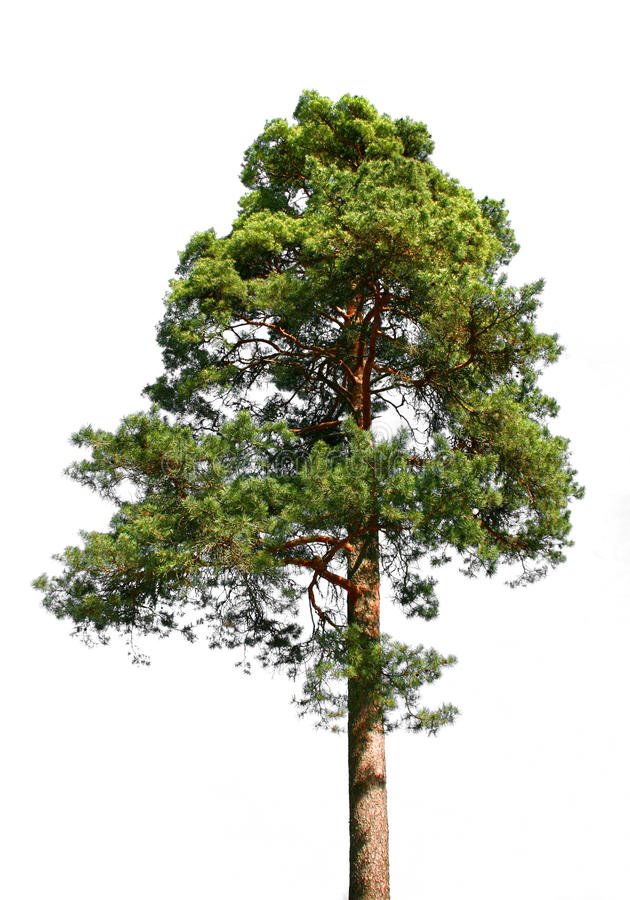 Lone pine tree on white stock photos