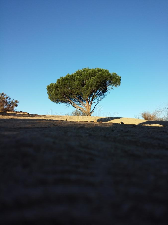 The Lone Pine royalty free stock photo