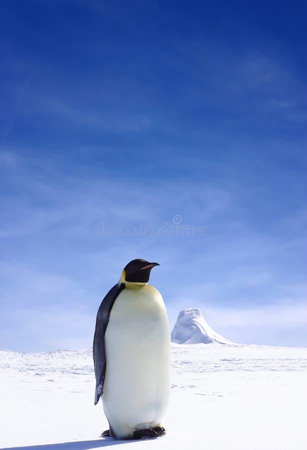 lone pingvin arkivfoto