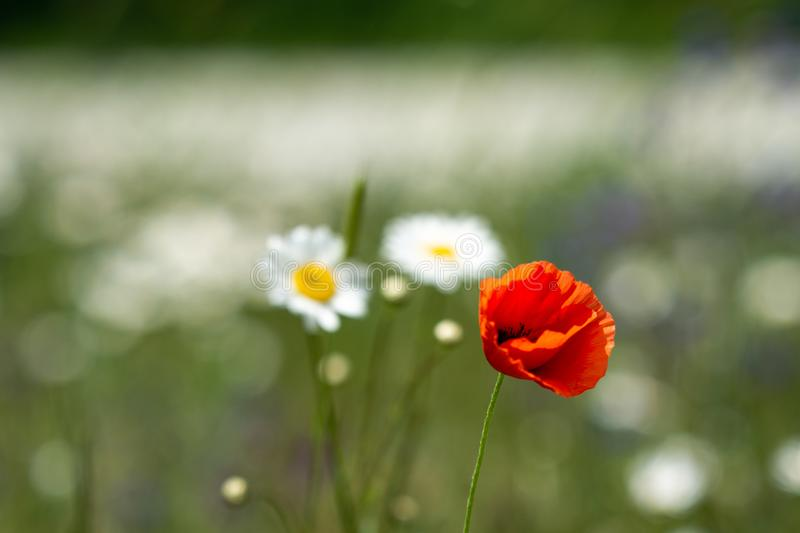 A lone poppy on a white daisy meadow. A lone poppy in a middle of white daisy field. Late spring, juicy greens and colorful flowers stock image