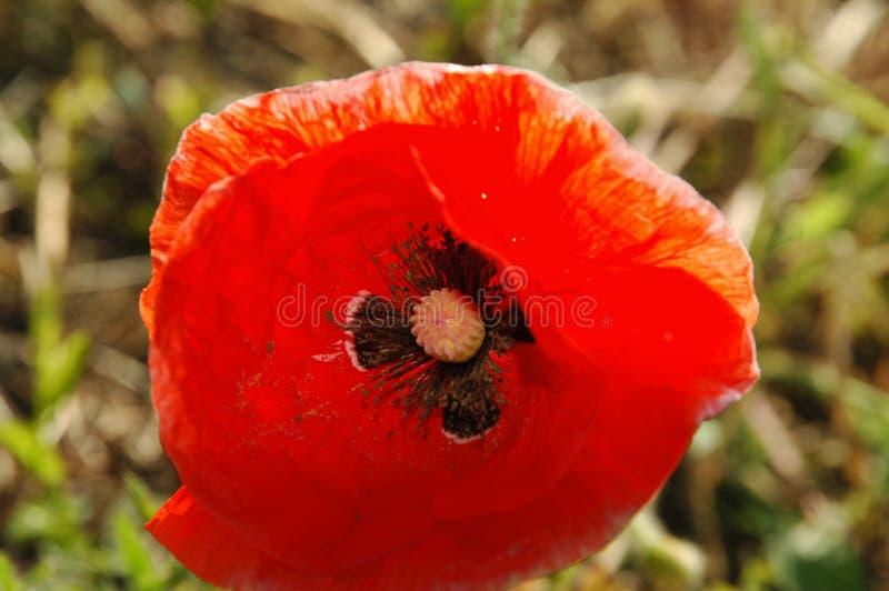 A lone poppy flower stock photos