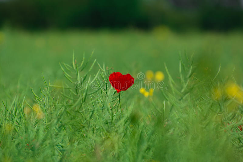 Lone poppy. royalty free stock images