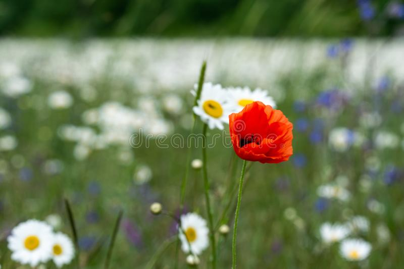 A lone poppy on a white daisy meadow. A lone poppy in a middle of white daisy field. Late spring, juicy greens and colorful flowers royalty free stock photos