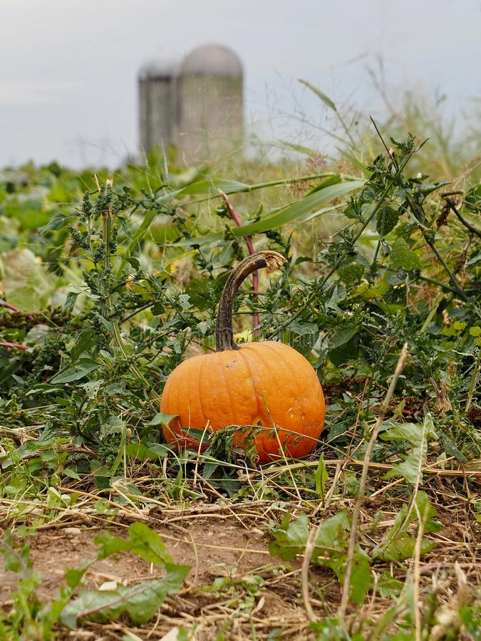 Lone Pumpkin in Farm Field. A lone remaining pumpkin at end of season in farm field after harvest with silos in the background royalty free stock images