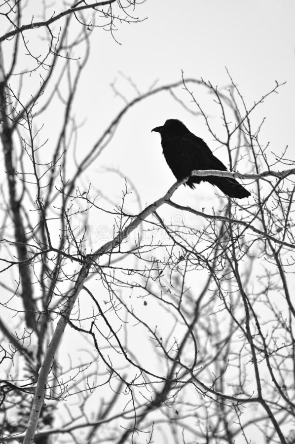 Lone Raven on Bare Winter Tree. A lone raven sits perched on a bare tree in winter. Photo was taken in the Yukon, Canada royalty free stock photos