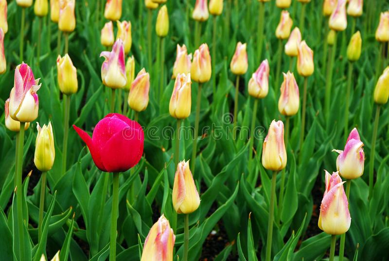 A lone red tulip pops up in a flower bed stock images
