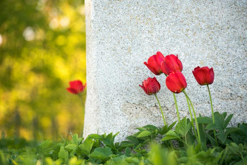 A lone red tulip stands alone behind the wall with green grass stock photos