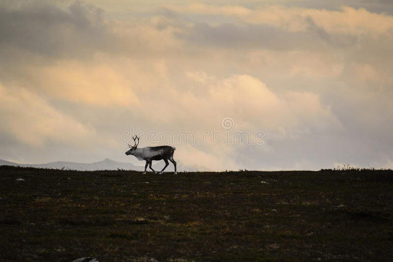 Lone reindeer on Swedish tundra. Lone male reindeer on tundra of Sweden with overcast skies stock photo