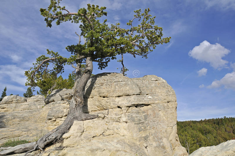 lone resiliant tree arkivbild